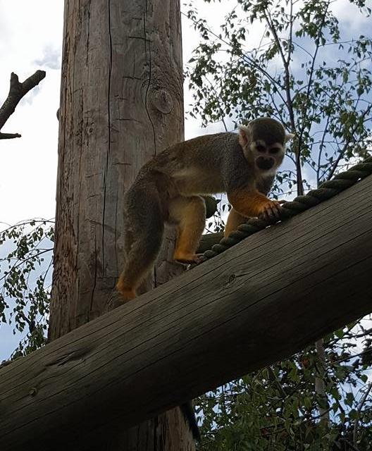 Monkey on tree at Yorkshire Wildlife Park