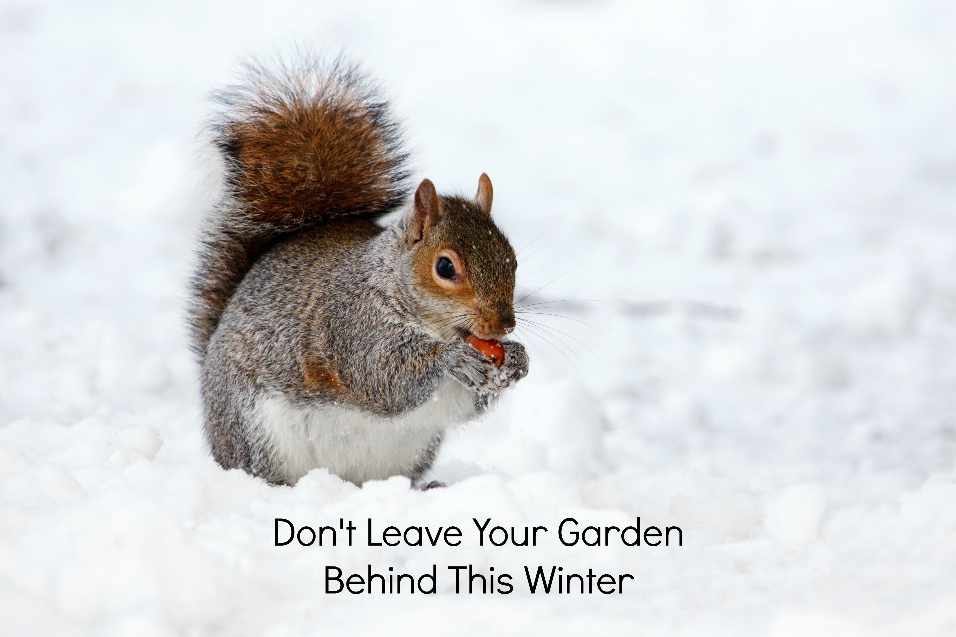 squirrel, snow, squirrel eating nut, squirrel in snow