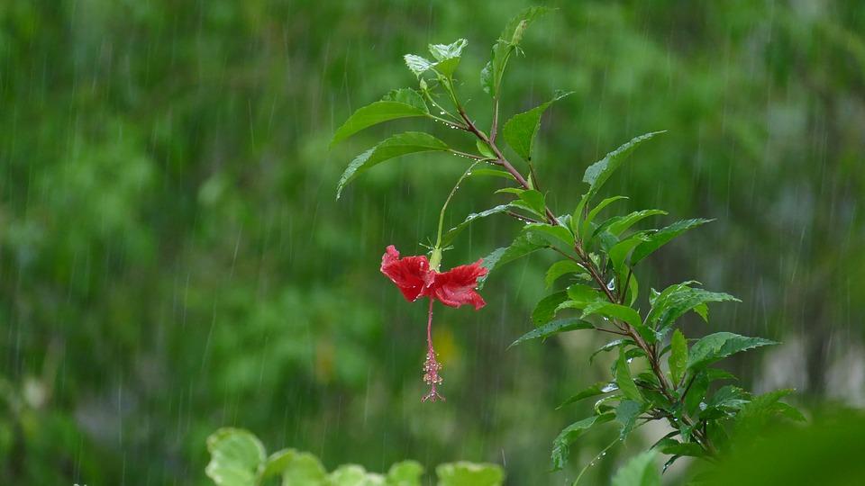 flower, rain