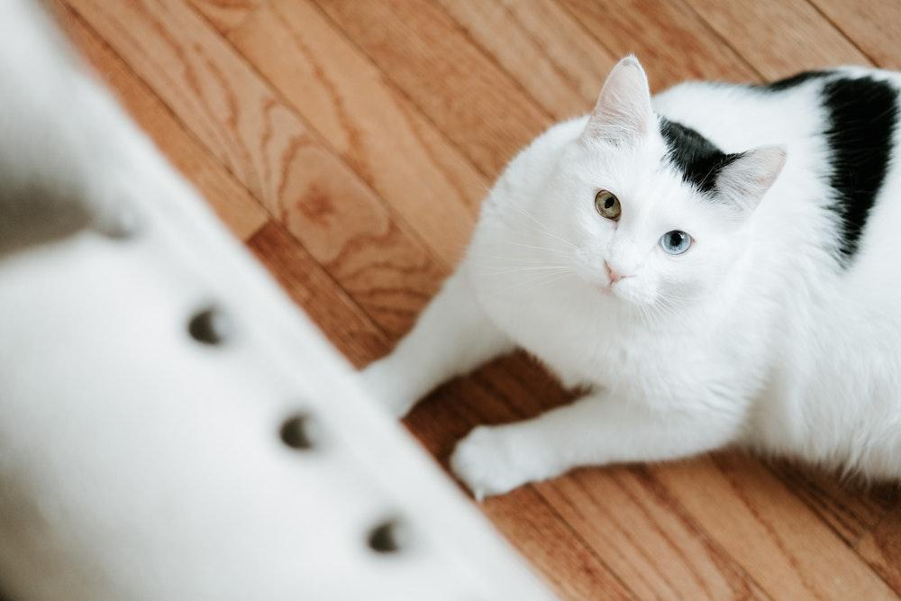 wooden floor, cat, white cat, cat on floor