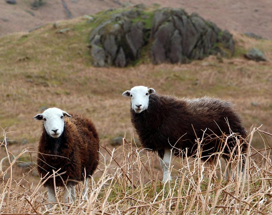 Herdwick Lambs
