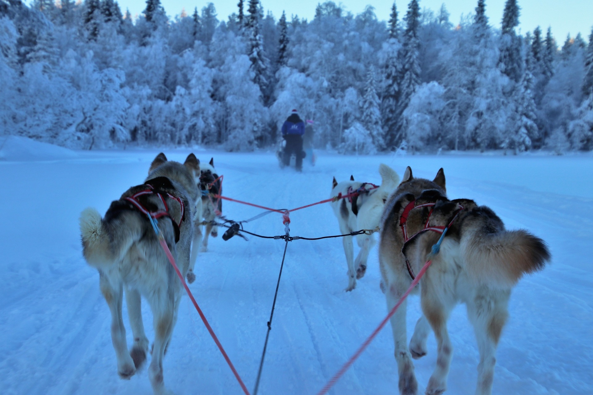 Sled dogs travel