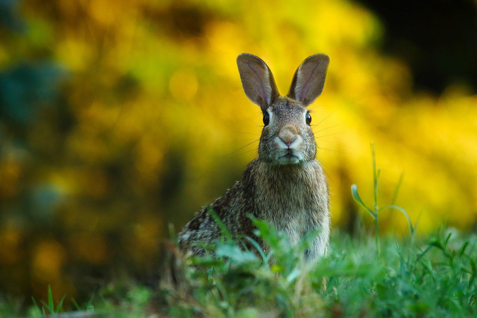 rabbit looking at camera