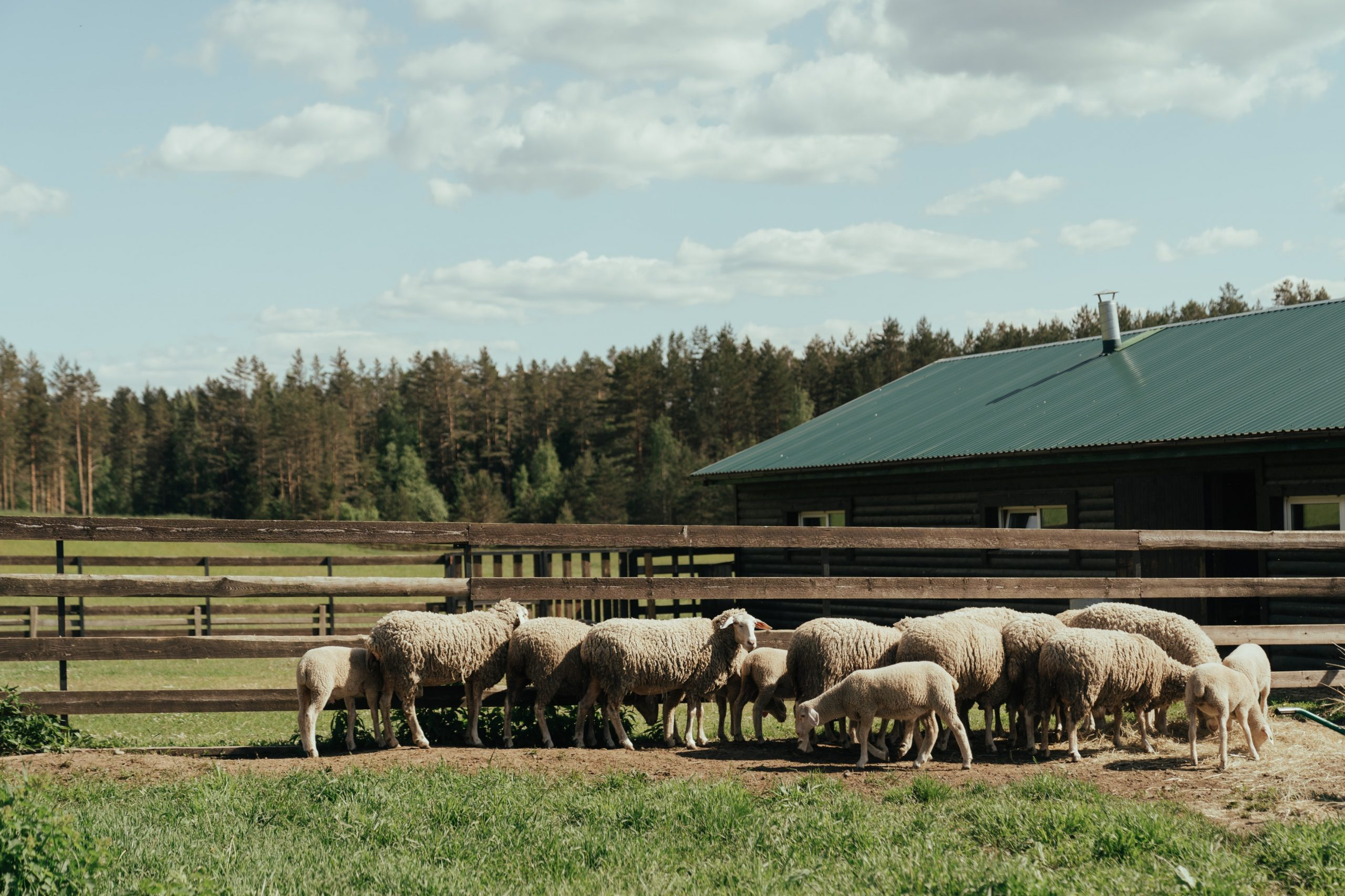 Homesteading Tips How To Make the Most Out Of Your Land; flock of white sheep grazing in a field
