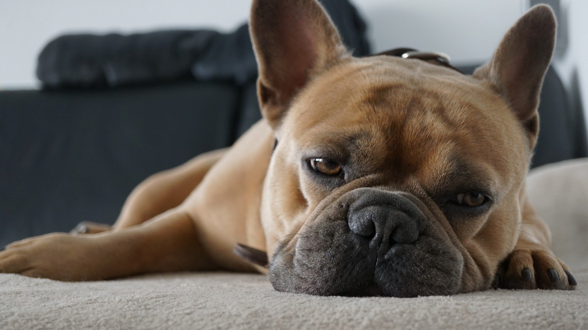 , french bulldog laying down, 3 Things That Can Sap Your Energy Levels