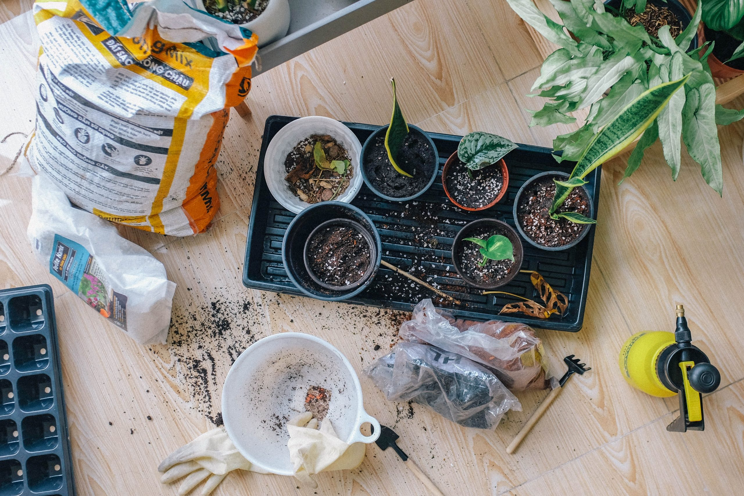 Planting seedlings into pots