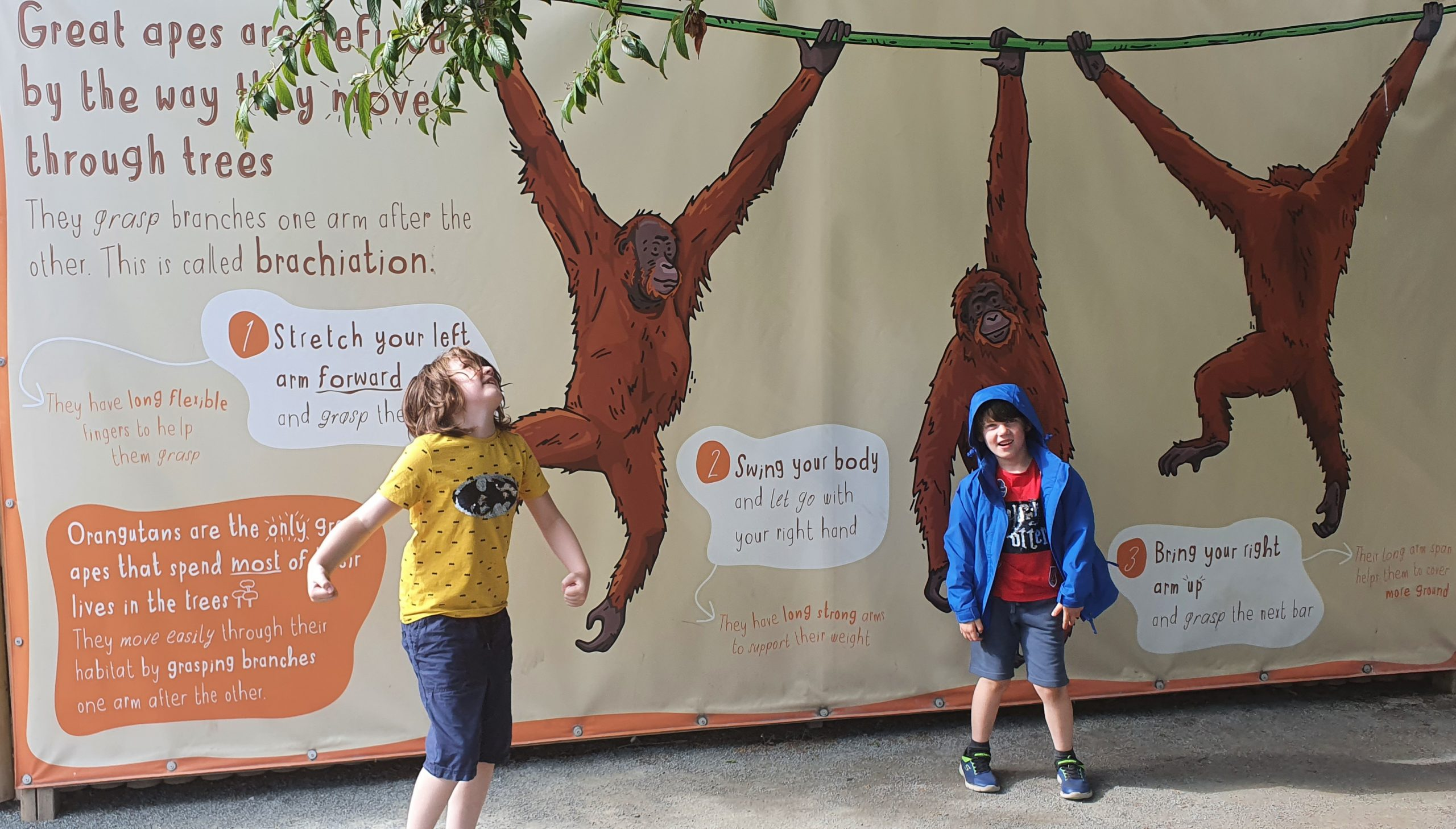 Two boys acting like a monkey in front of an image showing how monkeys swing